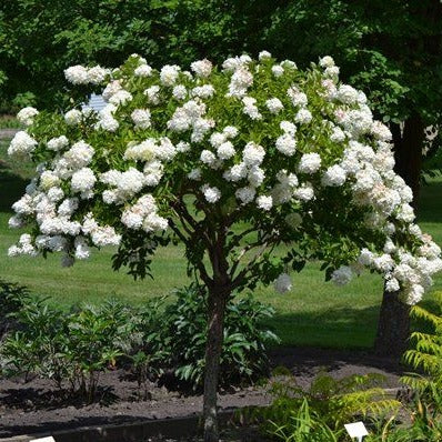 (3 Gallon) PG Hydrangea- Beautiful flowering tree that produces a showy tree form and white flowers that bloom from summer to fall. Attracted to butterflies and hummingbirds. Deer resistant.