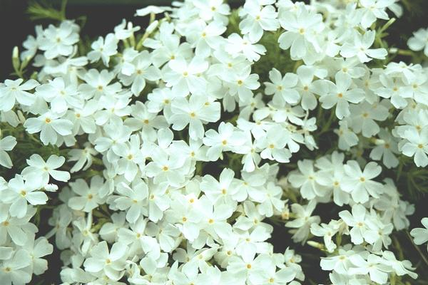 Phlox subulata 'Snowflake' White Creeping Phlox is covered with white flowers in Spring. Is a low growing, carpet-like spreader or groundcover that tolerates drought.