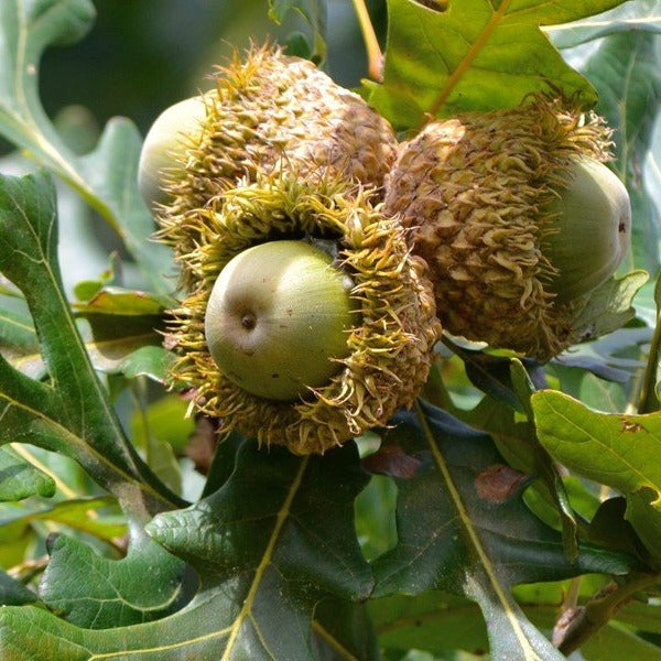 (1 Gallon) Bur Oak- (1 Gallon) Bur Oak- Large masculine tree with a very wide, open crown. Has a short body with heavy branches and  dark green foliage.