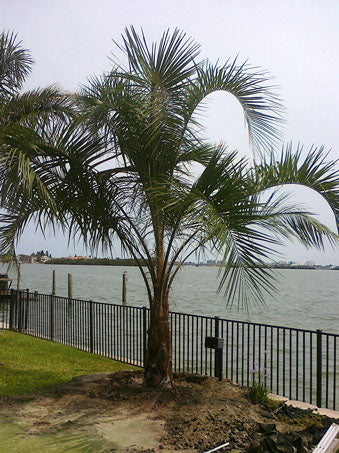 (3 Gallon) Pindo Palm (Jelly Palm) - Beautiful Feather Palm Tree, Leaves Ranging From Light Green to Bluish Gray and Growing 5 to 10 Feet Long. More Cold Hardy Than Most Palms.