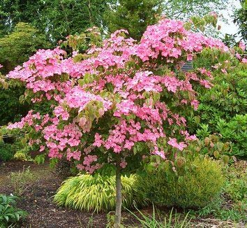 Pink Kousa Dogwood- Splendid pink to red bracts followed in fall by hanging red fruit. Autumn leaves have red-scarlet tints. Attractive specimen tree for landscaping !
