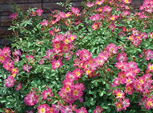 ( 1 gallon) PINK DRIFT ROSE- low-growing with distinctive mounded flowers. Deep pink flowers with a soft faded center bloom in abundance throughout the season PIXIES_DUD_Reserve_Now