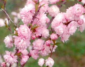 (3 Gallon) Pink Flowering Almond shrub-gorgeous rows of pink flowers, compact shrub,