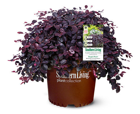 PURPLE PIXIE Loropetalum - Dwarf Size and weeping habit. Year Round Color. It grows only 1 to 2 feet tall by 4 to 5 feet wide. It's a great choice for a ground cover