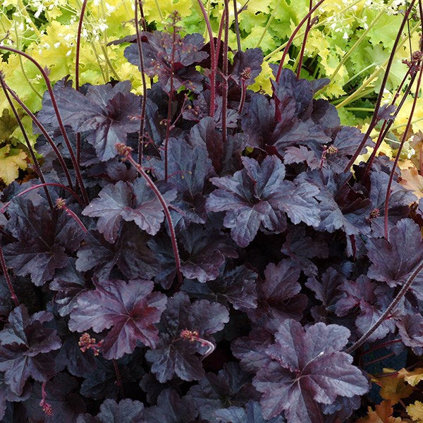 Heuchera 'Obsidian' Coral Bells, Broad Black Satin Leaves Will Not Fade, Even in the Sun. Cream Flowers Provide a Dazzling Contrast to Ebony Foliage