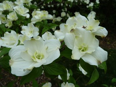 (1 Gallon) Plena Dogwood Tree produces gorgeous white blooms with an apple green color at the base of the bracts.