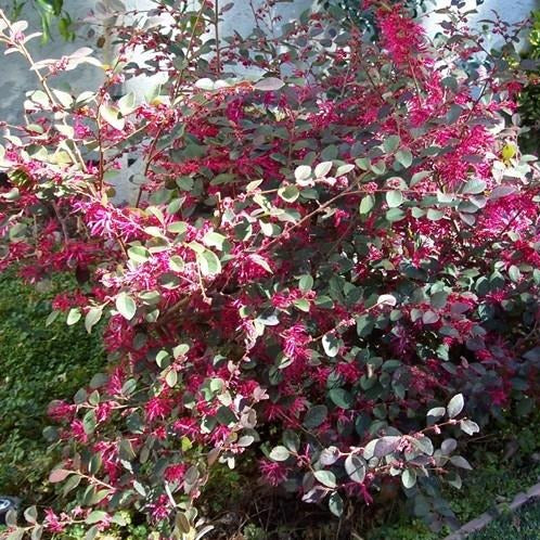 "(3 gallon) ""PLUM DELIGHT"" LOROPETALUM) - One Of The Best Purple-Leaf Varieties. Multiple Bloomer with Dark Pink Flowers. PIXIES_DUD"