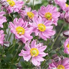 (1 Gallon) Anemone x hybrida Pocahontas - The large double flowers are a bright bubblegum pink, making quite a show in July, August and September.