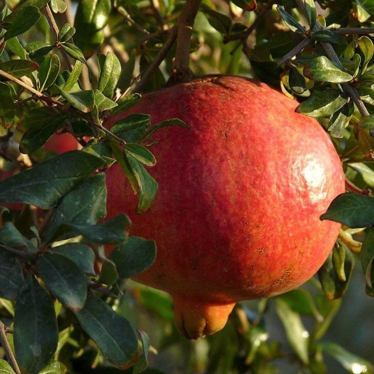 RUSSIAN Pomegranate Tree is cold hardy, very sweet fruit, that is well suited for northern climates.