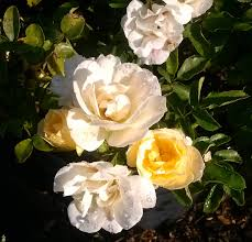 Popcorn Drift Rose- The color starts out yellow and fades to cream white, sometimes suffused with light pink. The overall impression is yellow and cream; reminiscent of buttery popcorn.