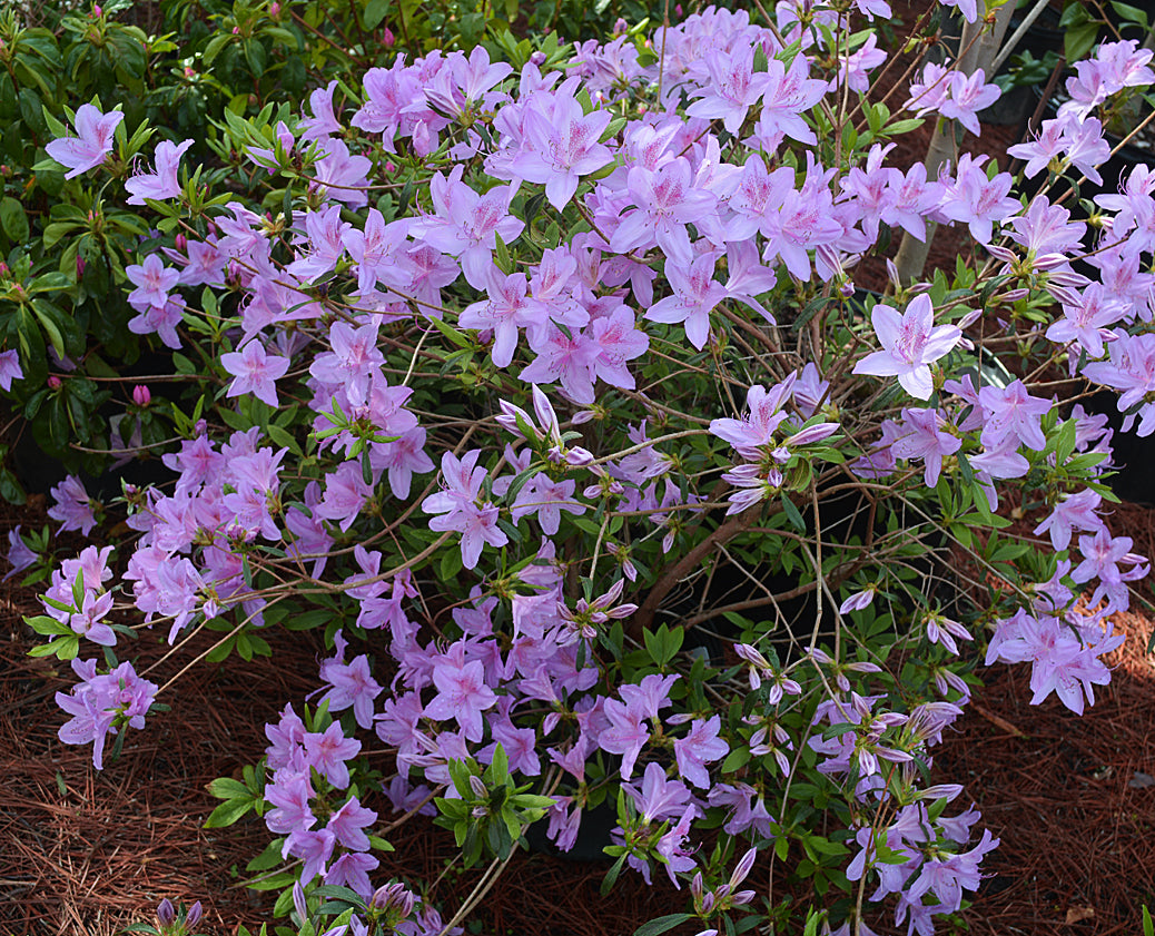Poukhanense Azalea-  A hardy semi-evergreen shrub valued for its abundance of charming lavender-pink flowers in early spring.