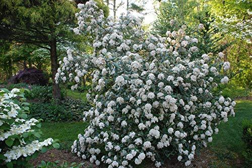 Pragense Viburnum is an evergreen shrub that produces slightly fragrant, creamy white blooms in Spring. PIXIES_DUD