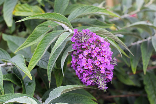Buddleia 'Purple Haze' Lo & Behold®