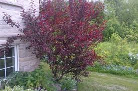Purpleleaf Sand Cherry- Gorgeous reddish-purple foliage, fragrant white and pink spring flowers