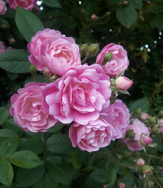 Sweet DRIFT ROSE-low-growing with distinctive mounded flowers that reach 1 ½' in height with a 3' spread.  Deep pink flowers with a soft faded center, bloom in abundance throughout the season.