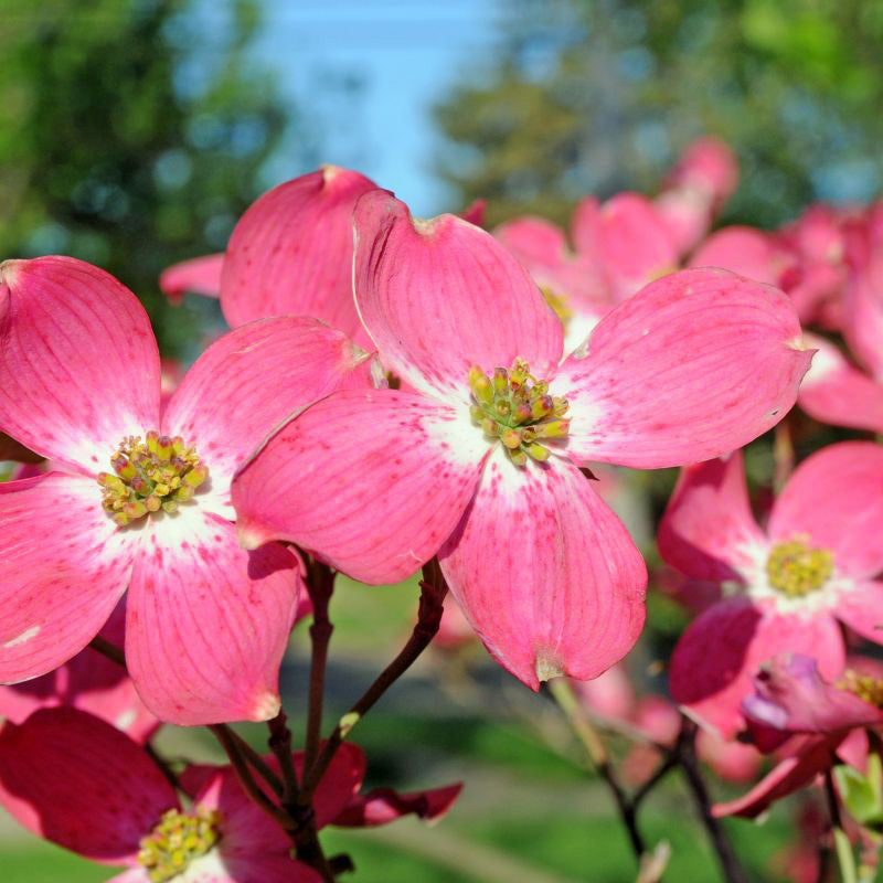 Red Dogwood Tree- Gorgeous Red flowers in Spring, vibrant red berries, green leaves turn crimson in Fall.