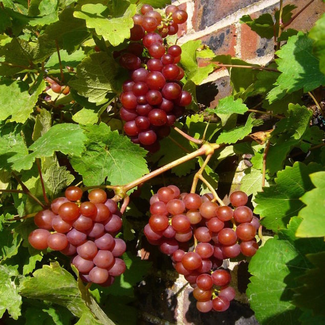 Einset Seedless Red Grape Vine, produces medium-sized clusters with oval, bright red berries with a light waxy bloom. Tender to firm flesh