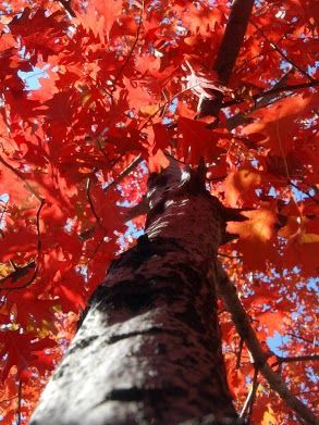 (1 Gallon) Red Oak Tree- Produces excellent leaves that emerges as a pinkish-red, turning lustrous dark green in summer, and changing to russet-red to bright red in autumn.