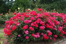 (1 Gallon) RED DRIFT ROSE -petite red flowers, has the most petite flowers of all the Drift Roses, perfect for use in front border plantings.