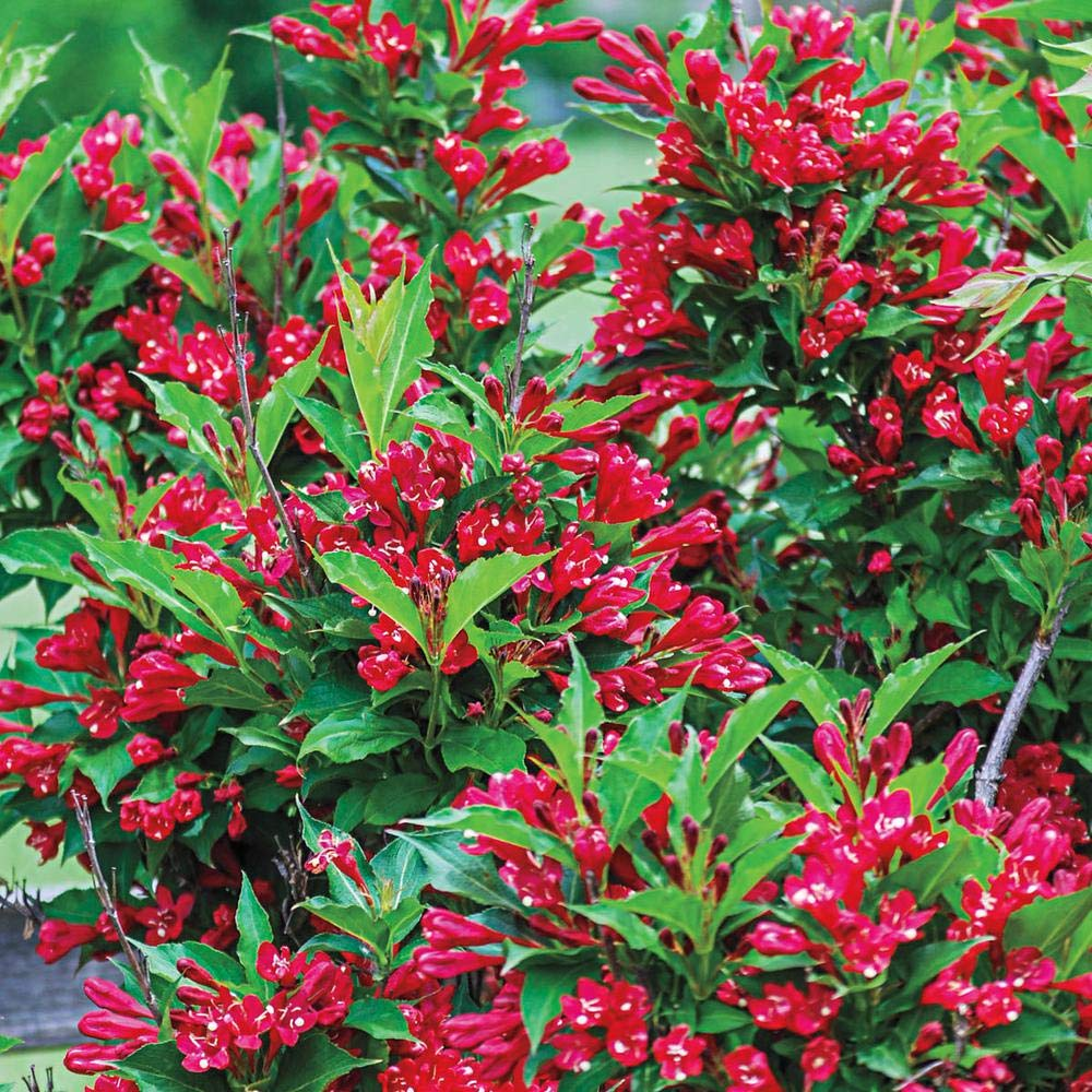 RED PRINCE Weigela, Absolute Beauty, Reblooming, Bountiful, Red Flowers, Hydrangeas Shrub, Evergreens, Gardenia