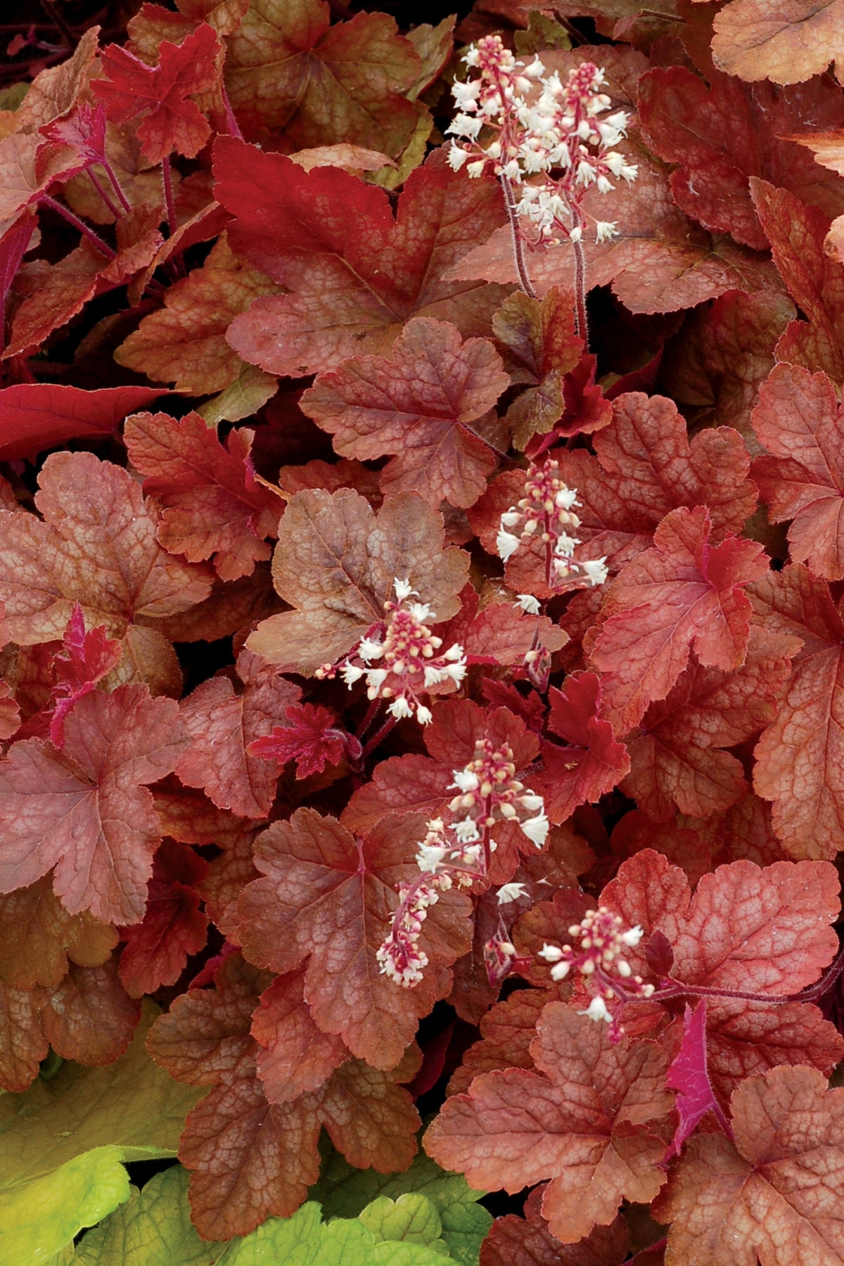 (1 Gallon) Heucherella Redstone Falls PP22394 -This Vigorous grower. ruby-splashed, butterfly-like foliage is adorned in wonderful, warm autumnal tones.