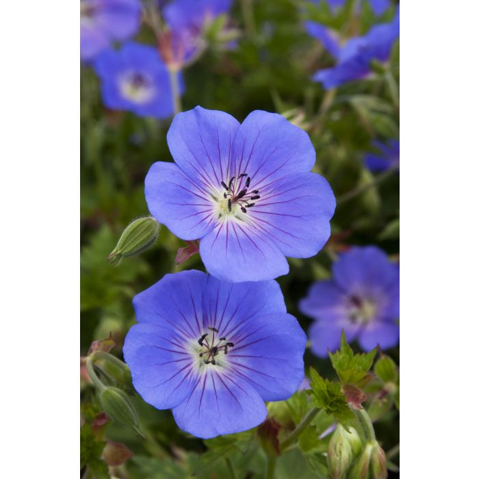 (1 Gallon) Geranium x Rozanne Cranesbill PP12175 - Dwarf spreading form with dainty violet flowers with lush mound of deep green foliage.