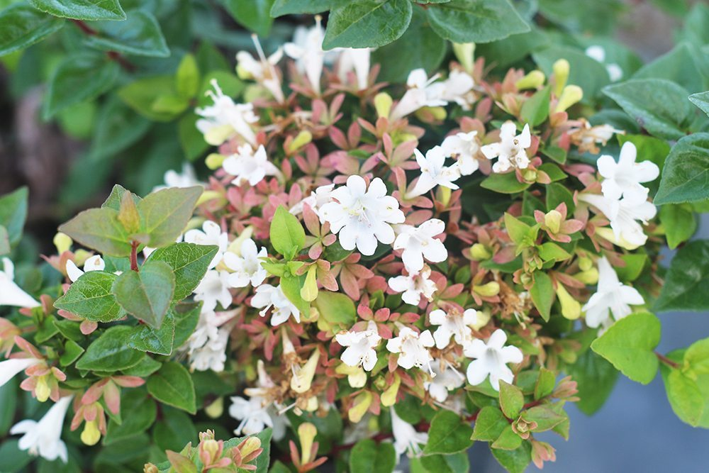 ABELIA ROSE CREEK, Astounding, Dwarf, Foliage in Spring Emerges Delightfully Pinkish, Turns to a Vibrant green. Compact Evergreen
