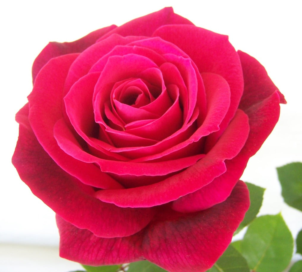 (3 gallon) Mr. Lincoln Rose (Rosa)-  Mr. Lincoln Rose roses are ever-blooming, producing large Red Hybrid Tea Rose double blooms in clusters on vigorous long stems from May till Fall