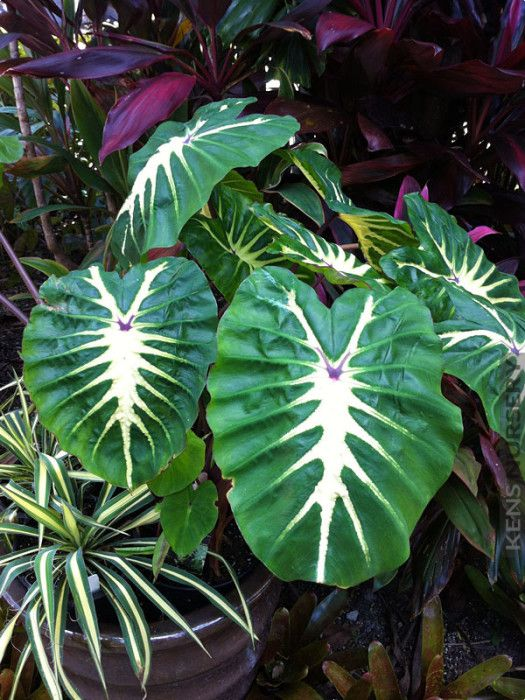 (1 Gallon) Royal Hawaiian White Lava- forms a tight clump that provides a tropical look. Medium grower reaching 48 by 36 inches at maturity. Excellent for large containers, garden borders or mass land