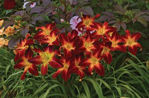 1 Gallon Pot: Hemerocallis Rainbow Rhythm™ 'Ruby Spider' Daylily. Gigantic, 9 inch, dark ruby red flowers with long, spoon-shaped petals and large yellow throat with matching midribs.