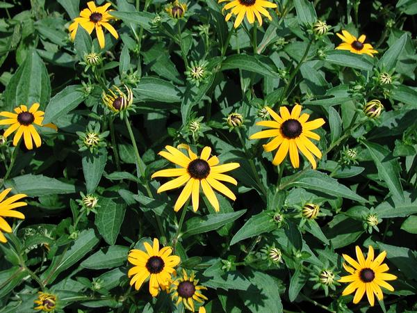 Rudbeckia fulgida 'Goldstrum' Black Eye Susan gorgeous golden yellow blooms with black cone centers begin in Summer and last into Fall.