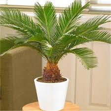 (3 gallon) Sago Palm Tree- Popular houseplant known for its feathery foliage and ease of care. Great plant for beginners and makes an interesting addition to any room. Growing Zones: 4-11 patio / 8-11 outdoors