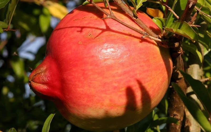 KAZAKE Pomegranate is considered with Salavatski as being the hardiest varieties for colder winter zones-cold hardy to 5-15*F