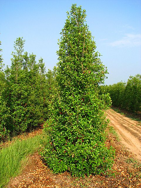 (1 Gallon) Savannah Holly- Beautiful large, upright evergreen shrub with glossy, light green leaves & a profuse fluorescent red berries through fall & winter. Excellent tree for lining walks or drives