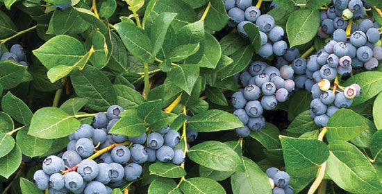 OCHLOCKONEE Blueberry Bush, berries are a deep blue color that isfirm and keeps well. Heavy quantities of late ripening, large fruit. Vigorous, upright shrub
