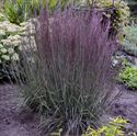 1 Gallon Pot: Grass: Schizachyrium scoparium 'Blue Paradise' Little Bluestem Proven Winners® PP281 Little Bluestem Grass. An upright ornamental grass that withstands adverse weather conditions. Silvery blue stems form in the summer, deep wine purple color