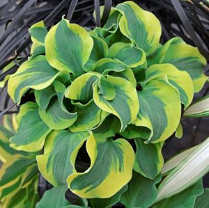 "4.33"" Pot/10 Count Flat: Hosta 'School Mouse' PPAF. School Mouse miniature hosta. Thick green foliage with bright yellow ruffled edges. A sport of another Walters Gardens' introduction, 'Church Mouse'. PIXIESDS_EGN"