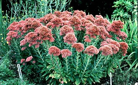 (1 gallon) SEDUM 'AUTUMN JOY',saucer like clusters of pink flowers, cold hardy