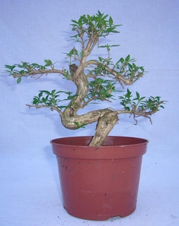 "(5"" Pot) Bonsai, Serissa Japonica, Tree of a Thousand Stars."
