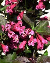 MINUET WEIGELA-DWARF TYPE, cold hardy, compact,short beauty PIXIES_DUD