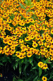 (1 Gallon) Helenium autumnale Pinata Siesta -  This compact variety features deep, with golden-yellow blooms surrounding a rich brown cone.