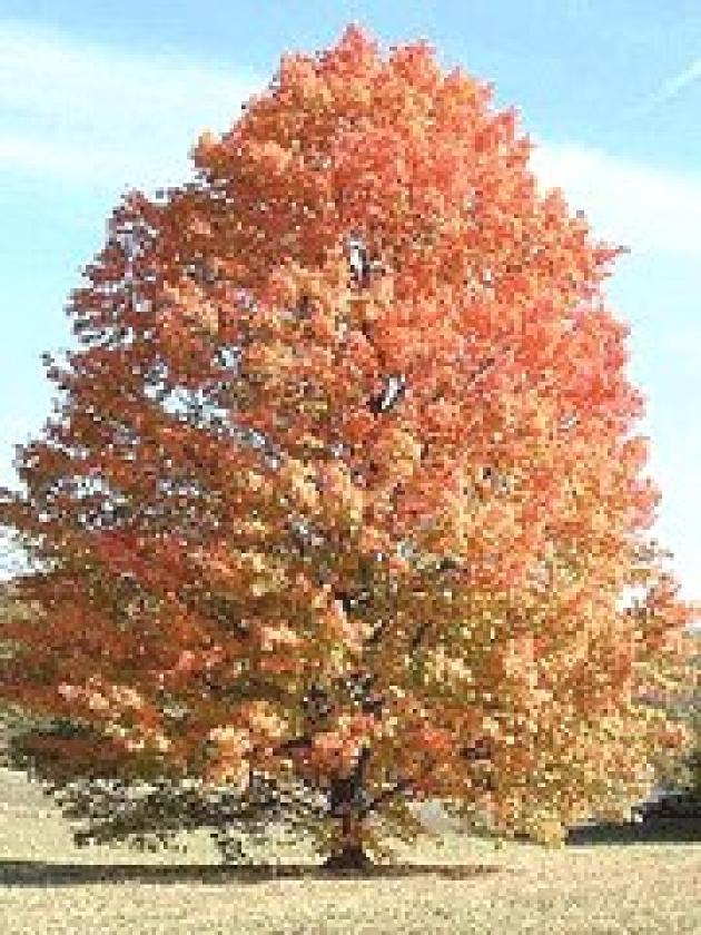 Silver Maple Tree-Brings color to your landscape year-round. Very fast-growing. Leaves are green on top and silvery-white on the underside