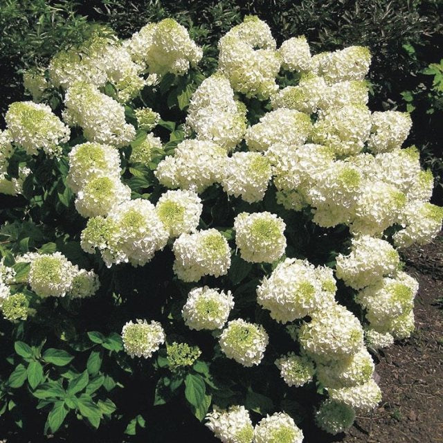 Silver Dollar Hydrangea , Stunning White Blooms in Summer, Dwarf Version of PG Hydrangea, Blooms a lot, Good for Cold Zones