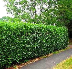 SCHIP LAUREL, Beautiful Evergreen, great for low screens, versatile, sun or shade, cold hardy, fast grower