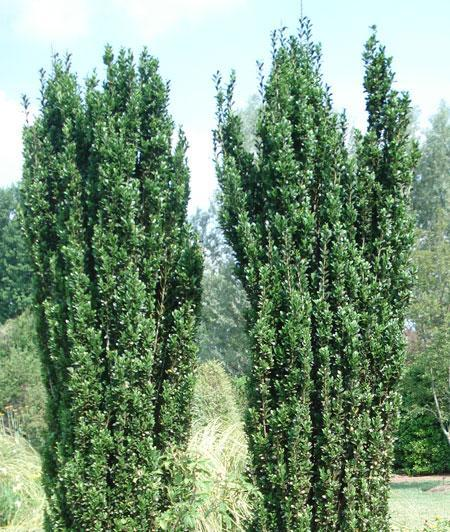 (3 Gallon)    SKY PENCIL Holly, Elegant, Pillar Shaped growing skyward naturally,cold Hardy, tall, narrow, columnar shape.