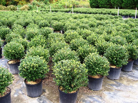 SOFT TOUCH COMPACT HOLLY- outstanding evergreen shrub with soft, glossy leaves. great foundation/ hedge plant PIXIES_DUD