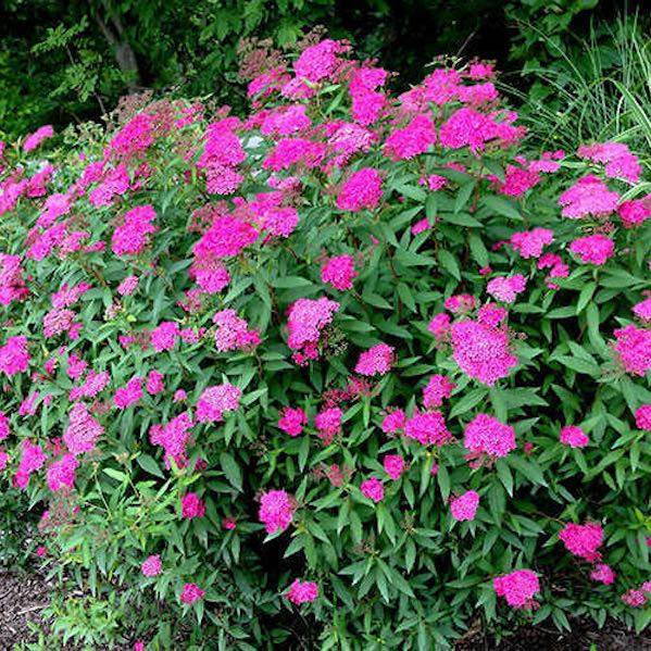 Anthony Waterer Spirea- Gorgeous spreading shrub, reddish-purple leaves, dense, upright, mounded form.