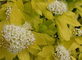 (1 Gallon)    Spiraea White Gold pp 13609, eye catching brilliant white flowers topping dazzling golden foliage Spring to Summer, this dwarf low-growing spirea is fabulous in beds and borders, raised beds, rock gardens and foundation plantings.