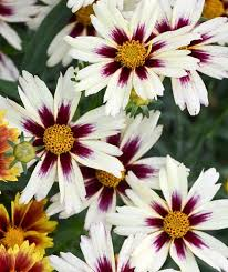 Quart Pot/10 Count Flat: Coreopsis Li'l BangTM PP28005 'Starlight'. Tickseed. Compact mound of medium green foliage, large white flower with burgundy star-shaped eye.