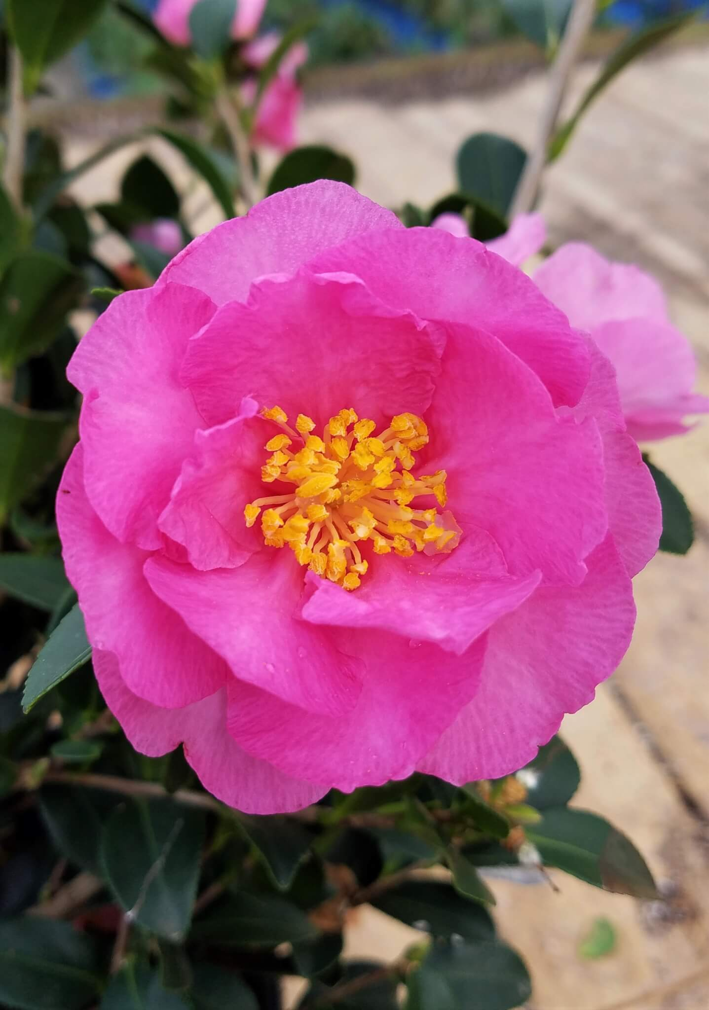 Stephanie Golden Camellia Vibrant Dark Pink Double Flowers That Bloom Early